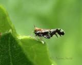 Liburniella ornata JN18 #5546