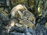 Eastern Cottontails in nest JL18 #9485