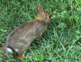 Eastern Cottontail AU18 #3344