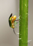 Four-lined Plant Bug JN18 #3616