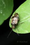 Tarnished Plant Bug JL18 #1810