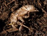 Cicada Exuvia JL18 #1769