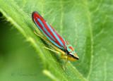 Graphocephala coccinea AU18 #6449