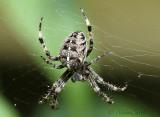 Araneus diadematus S18 #6968