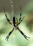 Black and Yellow Argiope AU18 #3111