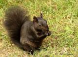 Gray Squirrel O18 #9274