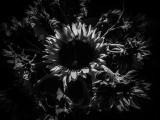 Funflowers