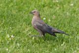 Brewer's Blackbird juvenile
