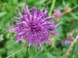 Wildflowers in Pontresina