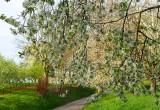 un rideau de fleurs de cerisier