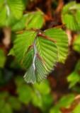 feuilles de hètre
