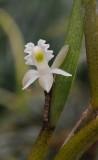 Dendrobium kruizingae. Closer.