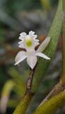 Dendrobium kruizingae. Close-up.