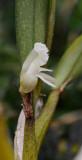 Dendrobium kruizingae. Closer. Side.