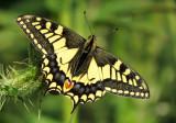 :: Butterflies UK ::