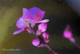 Mandelblüten / Almond Blossoms
