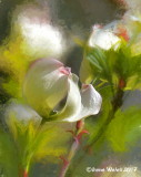 Blumenhartriegel / Flowering Dogwood