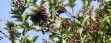 Mönchsgrasmücke / Eurasian Blackcap