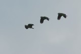 Red-lored parrots over Panama