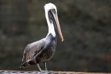 Pelican in Panama