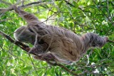 Sloth moving through the treetops