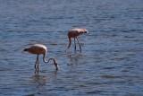 American/Caribbean flamingos