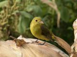 Scharlakanstangara - Scarlet Tanager (Piranga olivacea)