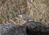 Gulnäbbad regngök - Yellow-billed Cuckoo (Coccyzus americanus)