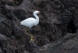 Snöhäger - Snowy Egret (Egretta thula)