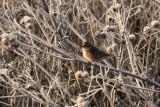 Tundrasparv - American Tree Sparrow (Spizelloides arborea)