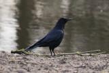 Svartkråka - Carrion crow (Corvus corone corone)