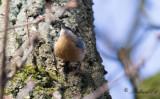 Nötväcka - Eurasian Nuthatch (Sitta europaea caesia)