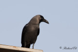 Huskråka - Indian House Crow (Corvus splendens)