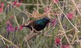 Palestinasolfågel - Palestine Sunbird (Nectarinia osea)