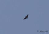 Kortstjärtad korp - Fan-tailed Raven (Corvus rhipidurus)