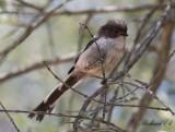 Stjärtmes - Long-tailed Tit (Aegithalos caudatus irbii)
