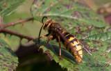 Bålgeting - European hornet (Vespa crabro)