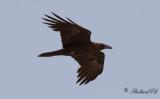 Ökenkorp - Brown-necked Raven (Corvus ruficollis)