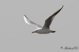 Långnäbbad mås - Slender-billed Gull (Larus genei)