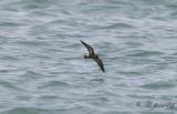 Stormsvala - European storm-petrel (Hydrobates pelagicus)