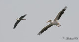 Grey Heron and White Pelican