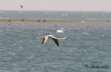 Större flamingo - Greater Flamingo (Phoenicopterus roseus)