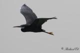 evhäger - Western Reef Egret (Egretta gularis)
