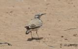 Härfågellärka - Greater Hoopoe-Lark (Alaemon alaudipes alaudipes)