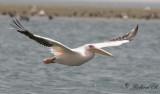 Vit pelikan - White Pelican (Pelecanus onocrotalus)