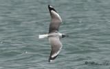 Gråhuvad mås - Grey-headed gull (Chroicocephalus cirrocephalus)