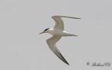 Kungstärna - Royal Tern (Thalasseus maximus)
