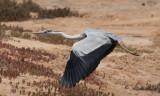 Gråhäger - Grey Heron (Ardea cinerea monicae)