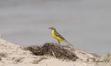 lärla - Yellow wagtail (Motacilla flava)
