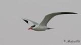 Skräntärna - Caspian Tern (Sterna caspia)